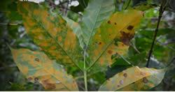 Coffee Leaf Rust