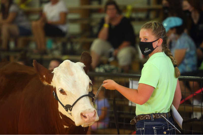 4-Her Showing Beef Cattle