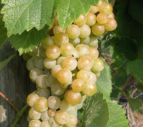 Traminette grapes